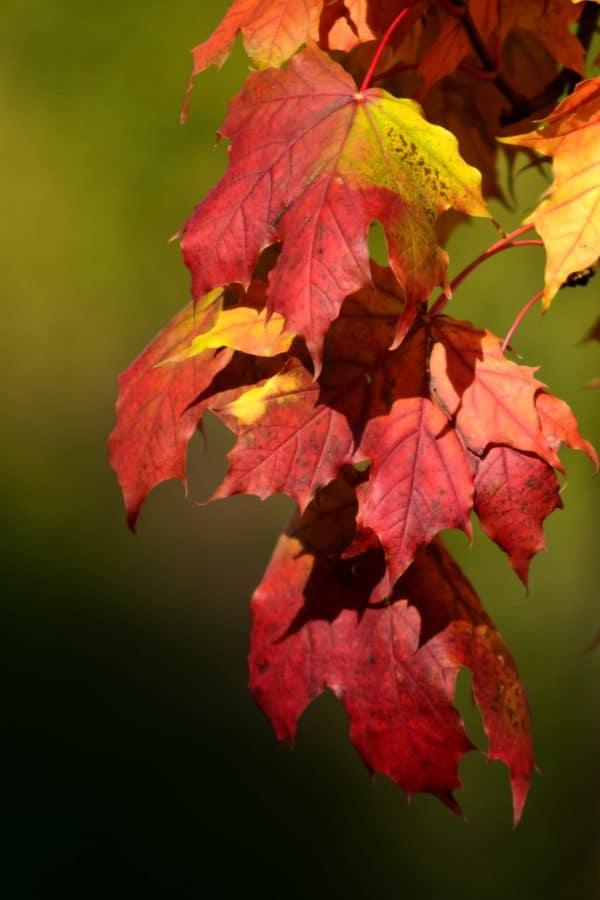 feuille, flore, nature, automne, plante, arbre, feuillage, forêt