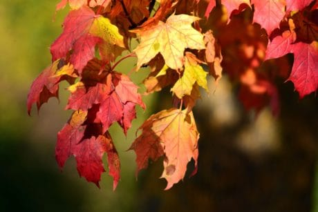 red leaf, flora, nature, autumn, foliage, plant, tree, forest
