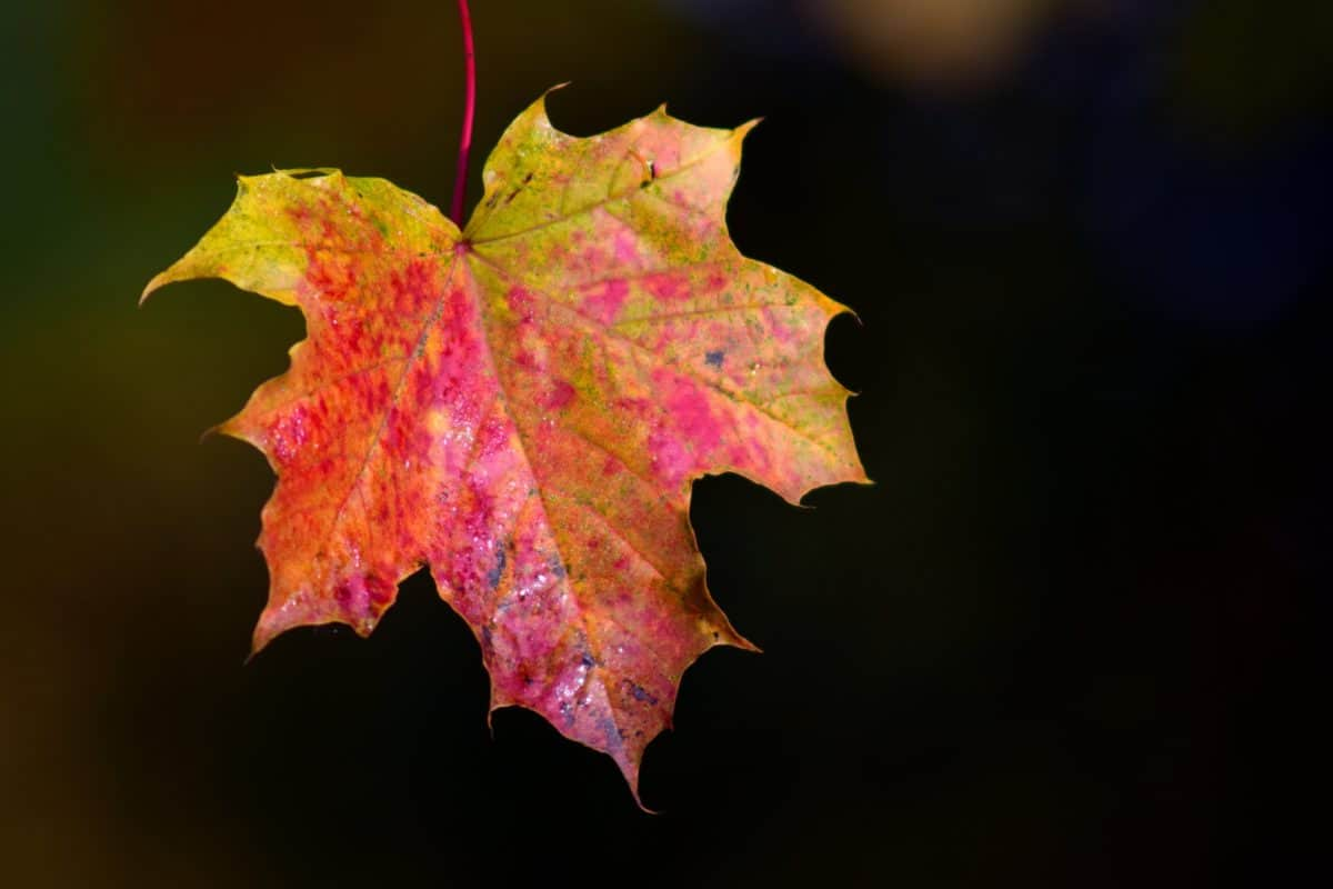 leaf, nature, autumn, foliage, plant, autumnal, tree, macro