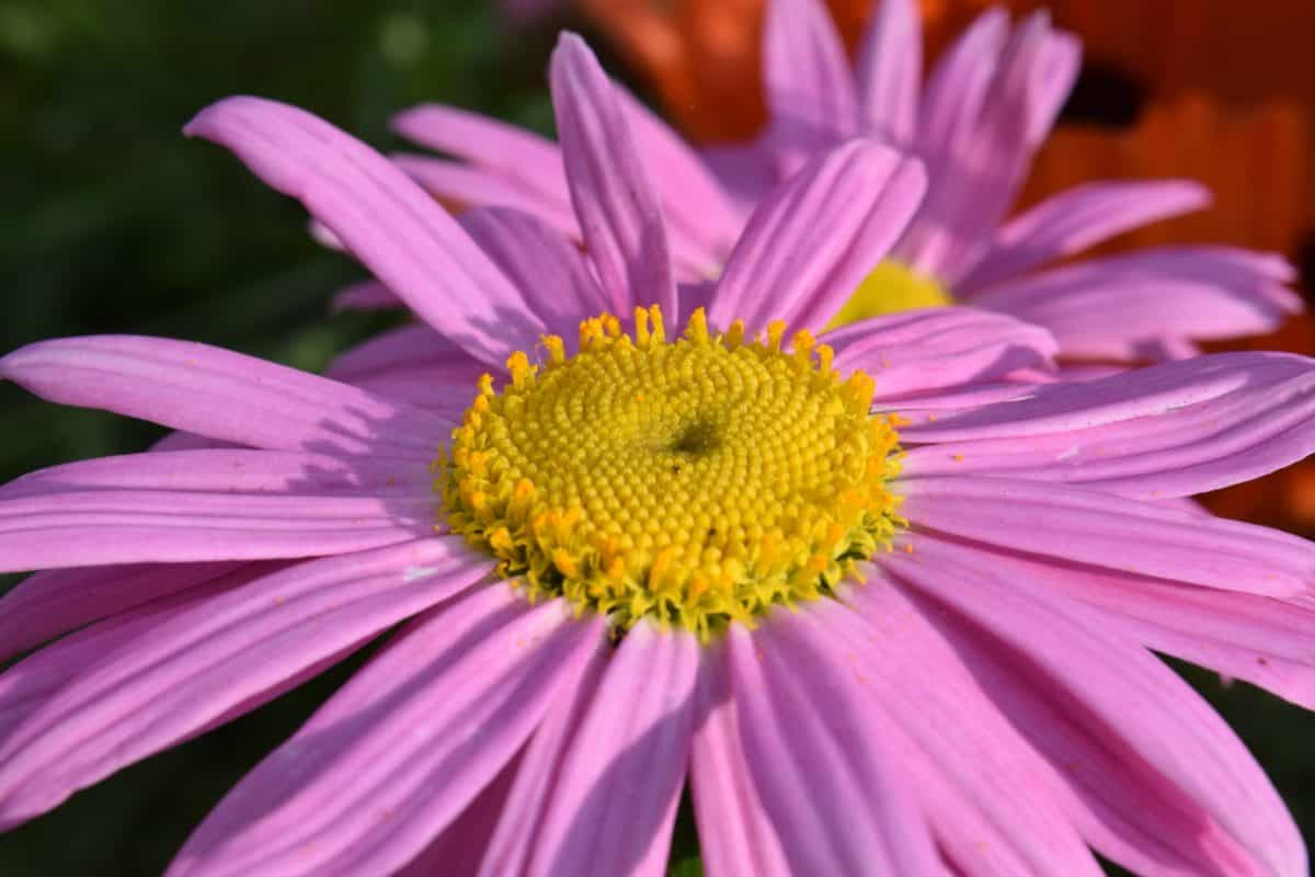 Градина, лято, макро, природа, венчелистче, цветя, флора, завод, Блосъм