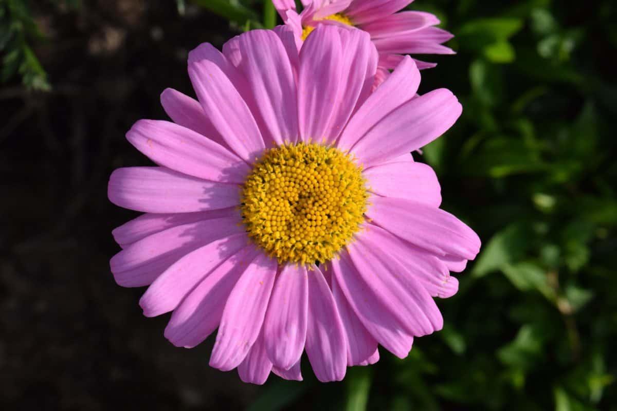 fiore selvaggio, giardino, macro, pistillo, estate, flora, petalo, natura, fiore, pianta