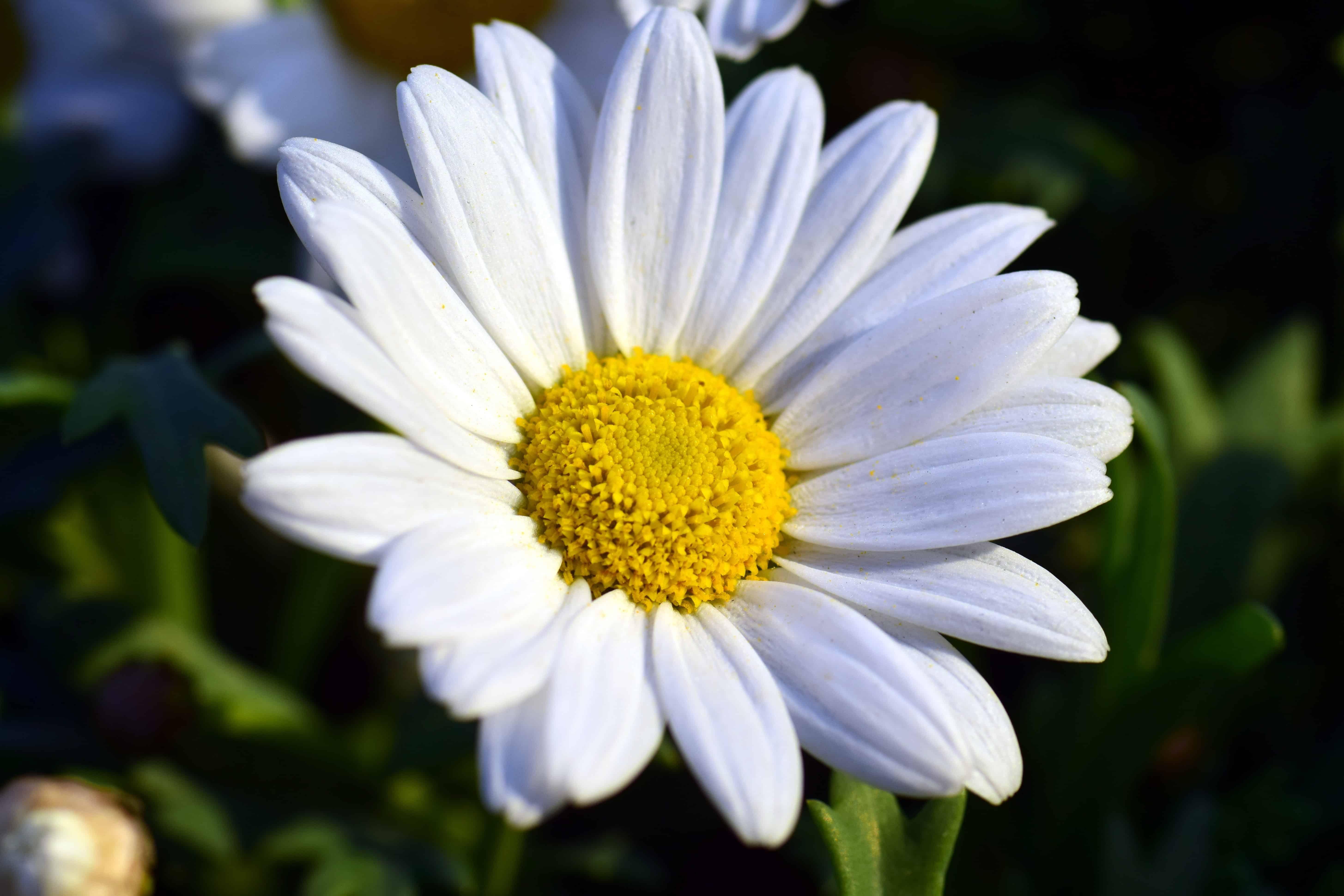 Free Picture Flora Pistil Summer Nature Leaf White Flower