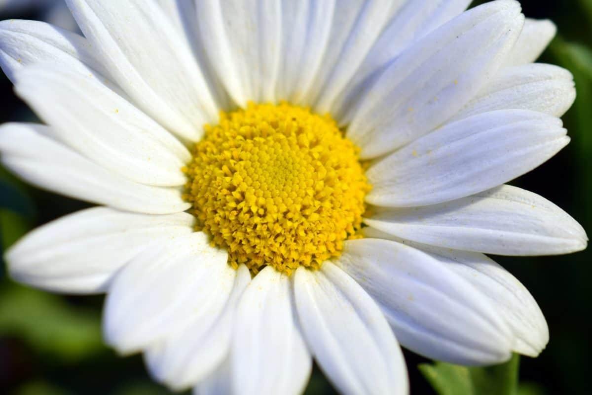 horticulture, été, jardin, flore, nature, fleur blanche, fleur, pétale, plante