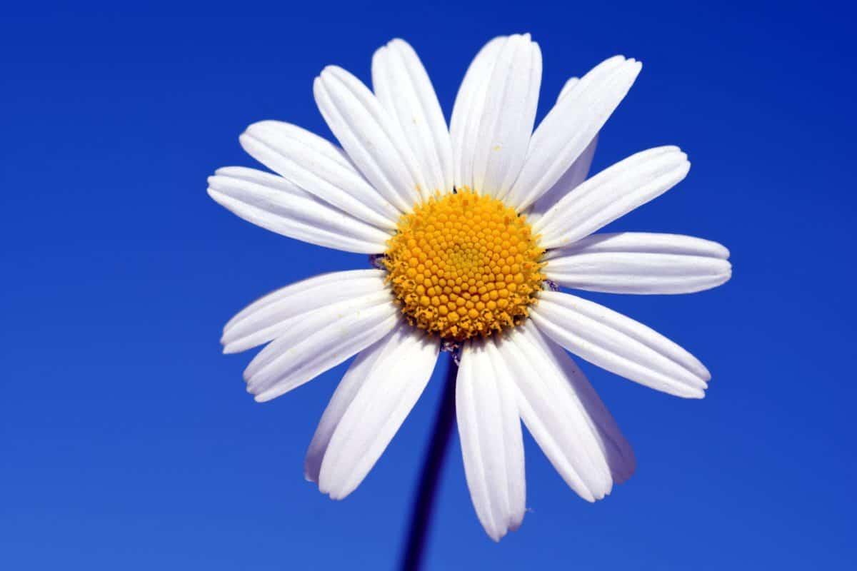 blue sky, nature, white flower, horticulture, plant, blossom, petal, garden
