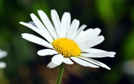 macro, natura, estate, fiore selvaggio, flora, pianta, fiore, giardino, petalo