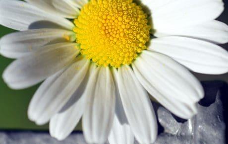 Blanche fleur, flore, nature, fleur, plante, pistil, macro, jardin, pétale, été