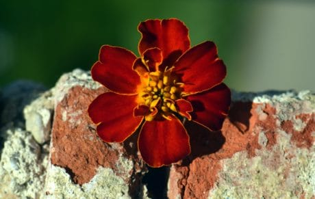 naturaleza, naturaleza muerta, macro, flor silvestre, pétalos, planta, flor, ladrillo, flor, jardín