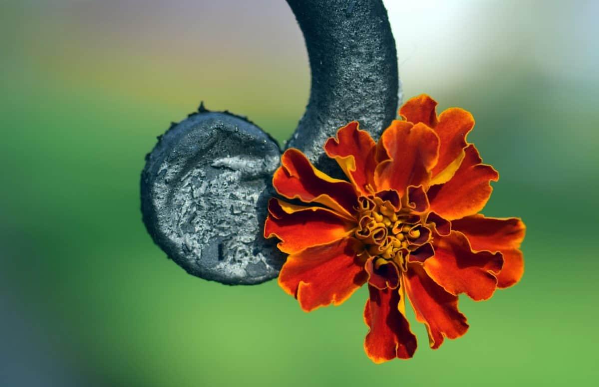 metal, hierro, macro, flora, flor, naturaleza, verano, planta, flor, Pétalo