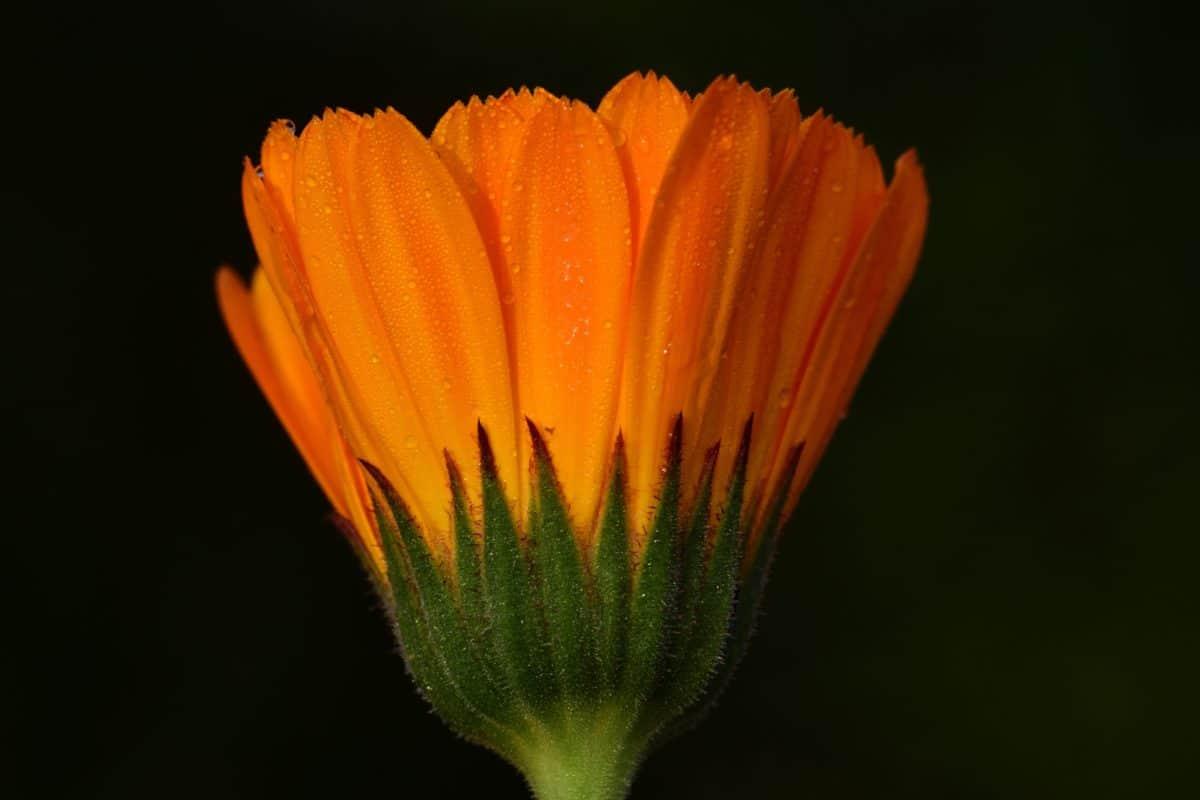 macro, fleur, nature, pétale, plante, jardin, fleur, flore