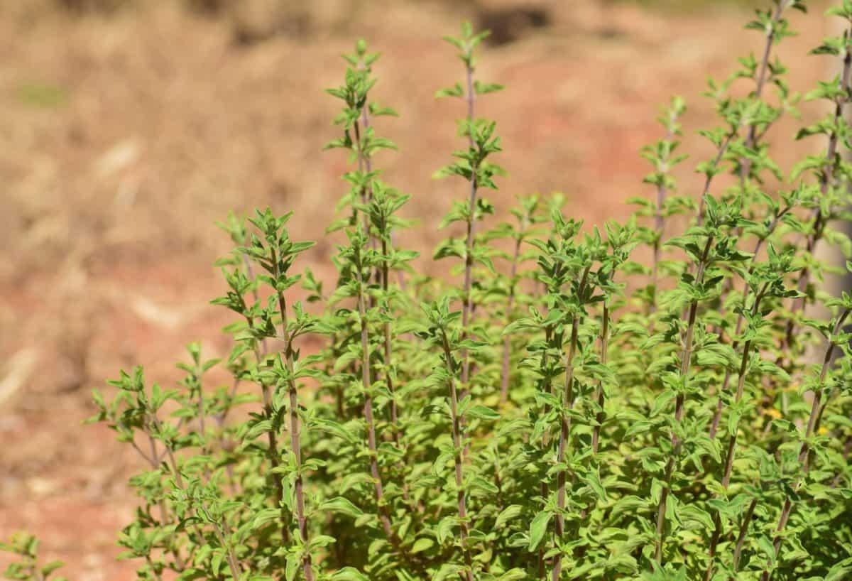 mint, flora, nature, green leaf, plant, herb, field, grass, outdoor