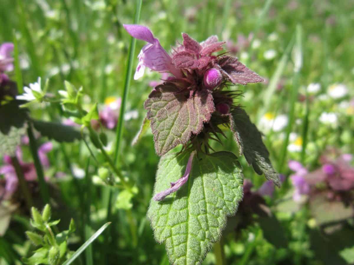 estate, natura, Prato, macro, foglia verde, erba, flora, campo, wildflower, giardino