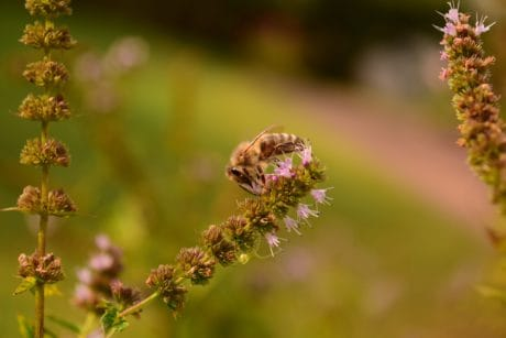 nature, honeybee, summer, grass, leaf, flower, bee, insect, herb, plant