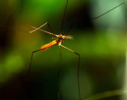 volně žijící zvířata, hmyz, bezobratlých, zvíře, komár, makro, detail
