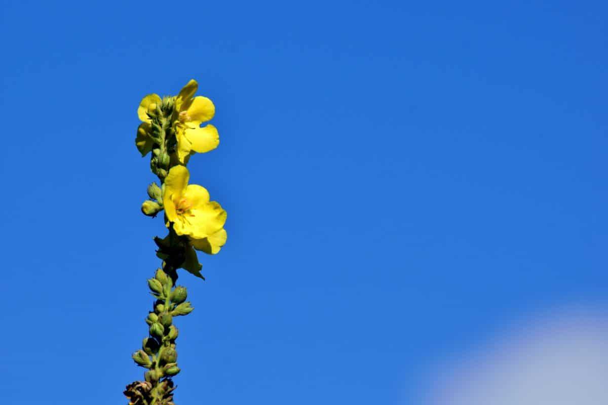 blue sky, wildflower, plant, yellow, green leaf