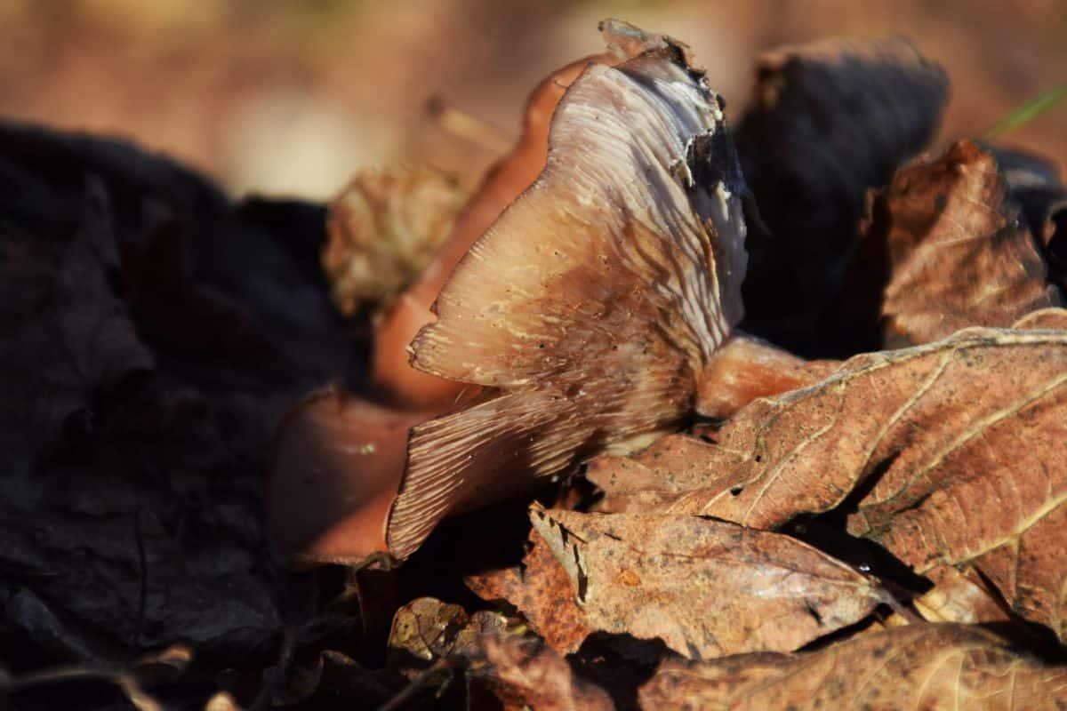 seta marrón, bosque, hoja, planta, flora, otoño