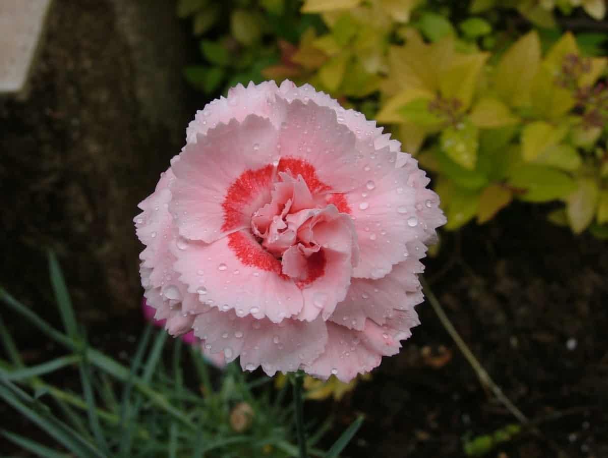 fleurs sauvages, nature, rosée, rose, horticulture, plante, jardin, pétale