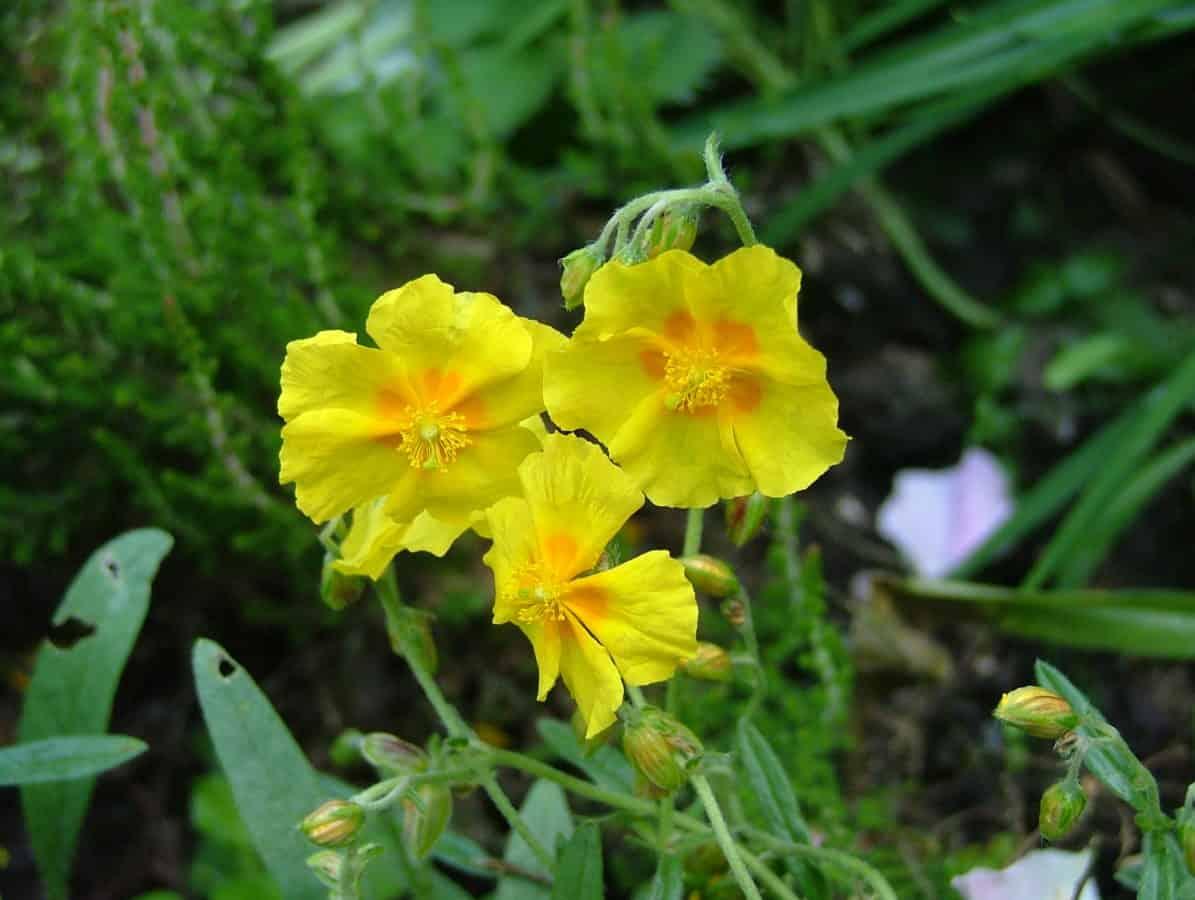 Garten, Sommer, Blatt, gelbe Blume, Natur, Flora, Pflanze, Kraut