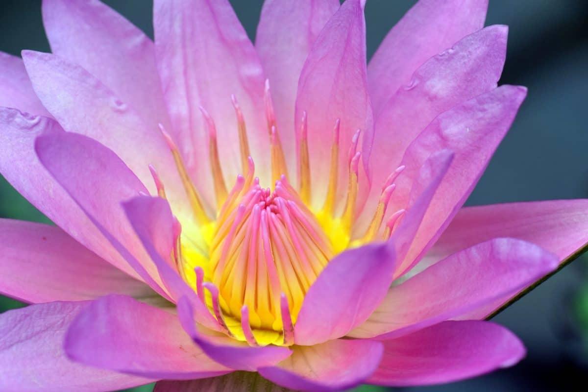 Lotus, плодник, макро, детайл, природа, флора, цвете, водната билка