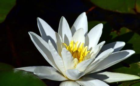pétale, nature, feuilles, flore, nénuphar, fleur, fleur