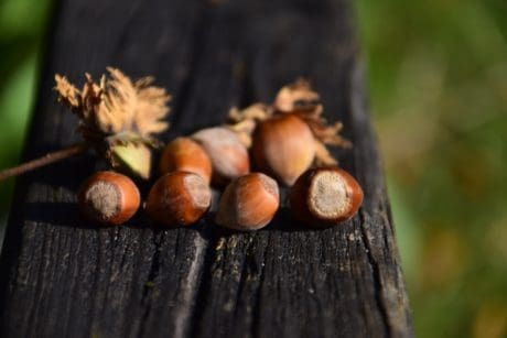 nature, food, tree, hazelnut, brown
