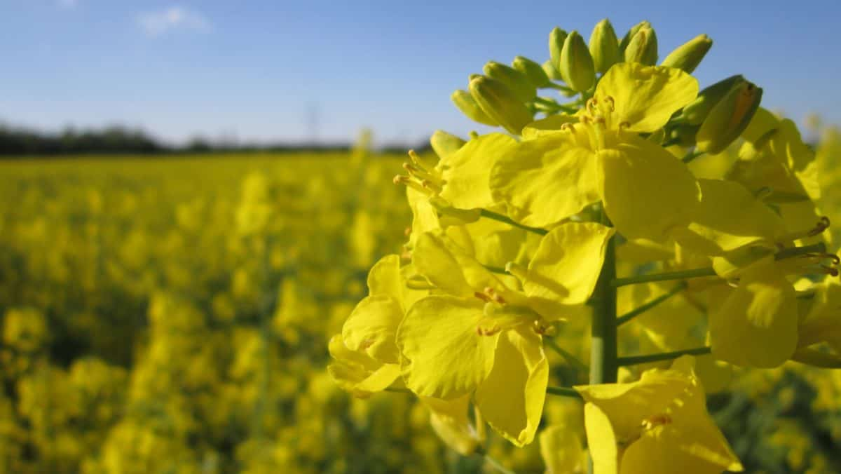 flora, field, nature, agriculture, flower, rapeseed, oilseed