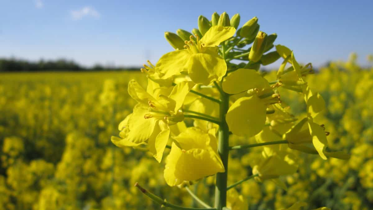 flower, summer, nature, agriculture, flora, oil, field, oilseed