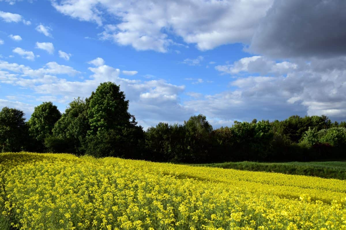 agriculture, landscape, flower, nature, countryside, field