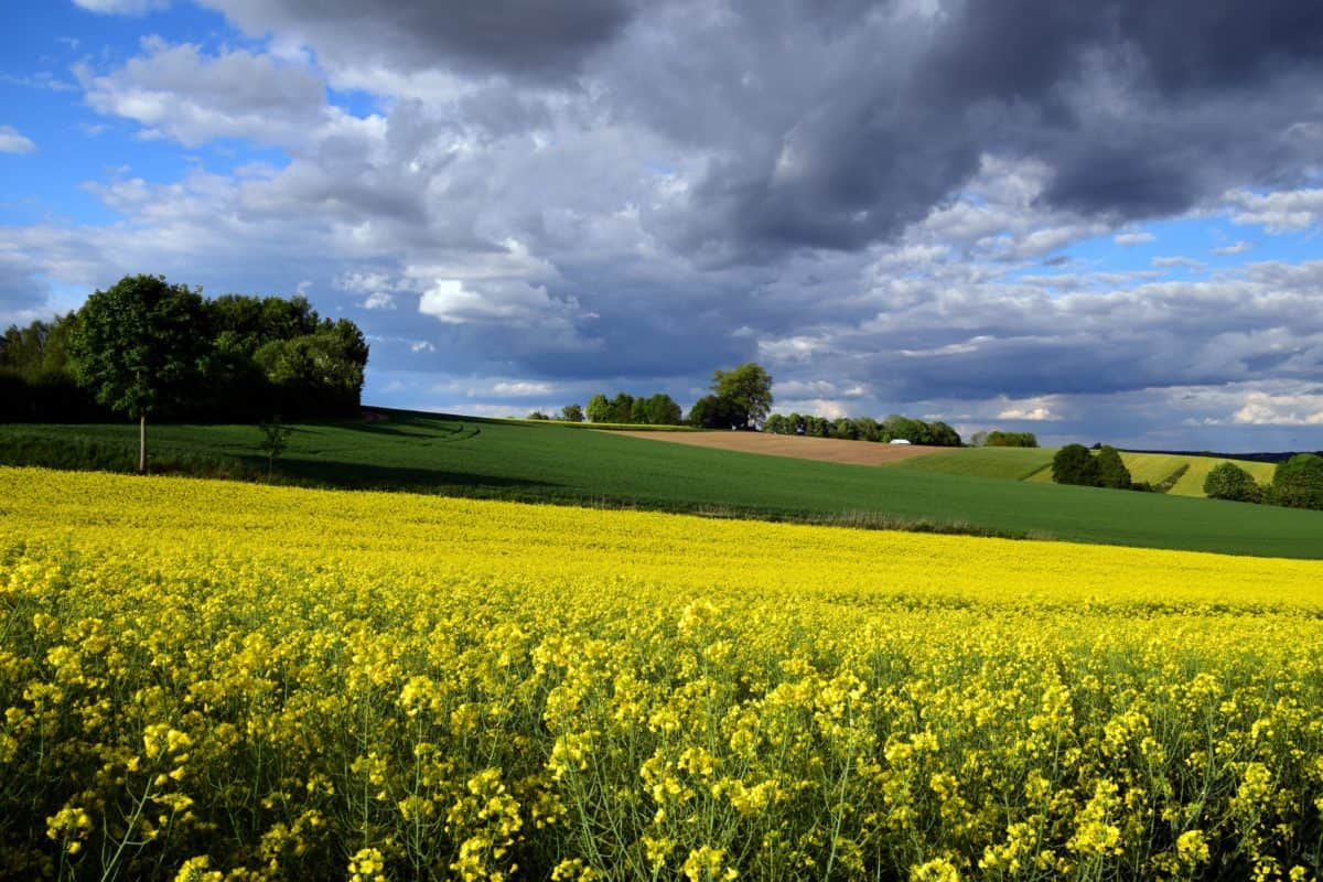 agriculture, field, nature, landscape, countryside, oilseed