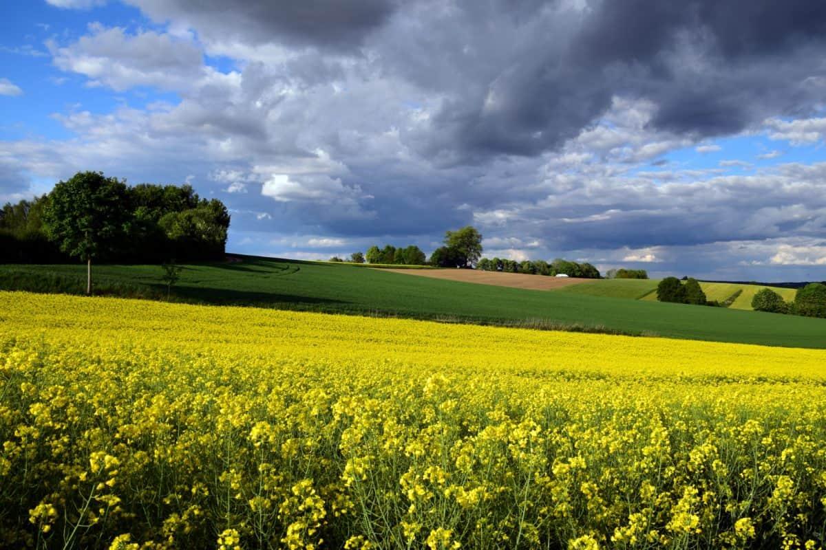 agricultura, campo, naturaleza, paisaje, campo, semilla oleaginosa
