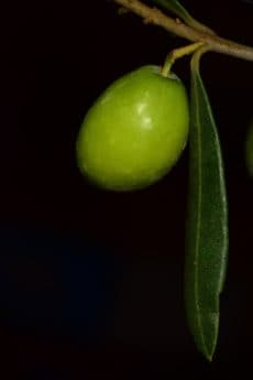 leaf, branch, olive, food, organic, night