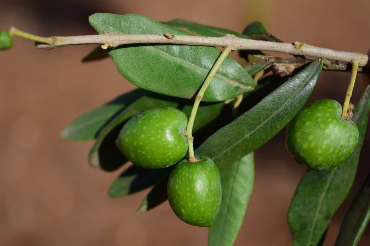 olive, plant, fruit, branch, agriculture, spice, food, organic