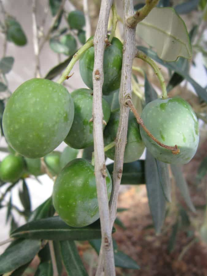 feuille verte, bois, olive, l'agriculture, plantes, épices, aliments, fruits