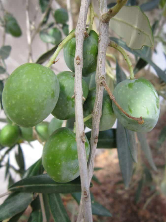 grünes Blatt, Holz, Olive, Landwirtschaft, Pflanze, Gewürz, Nahrungsmittel, Obst
