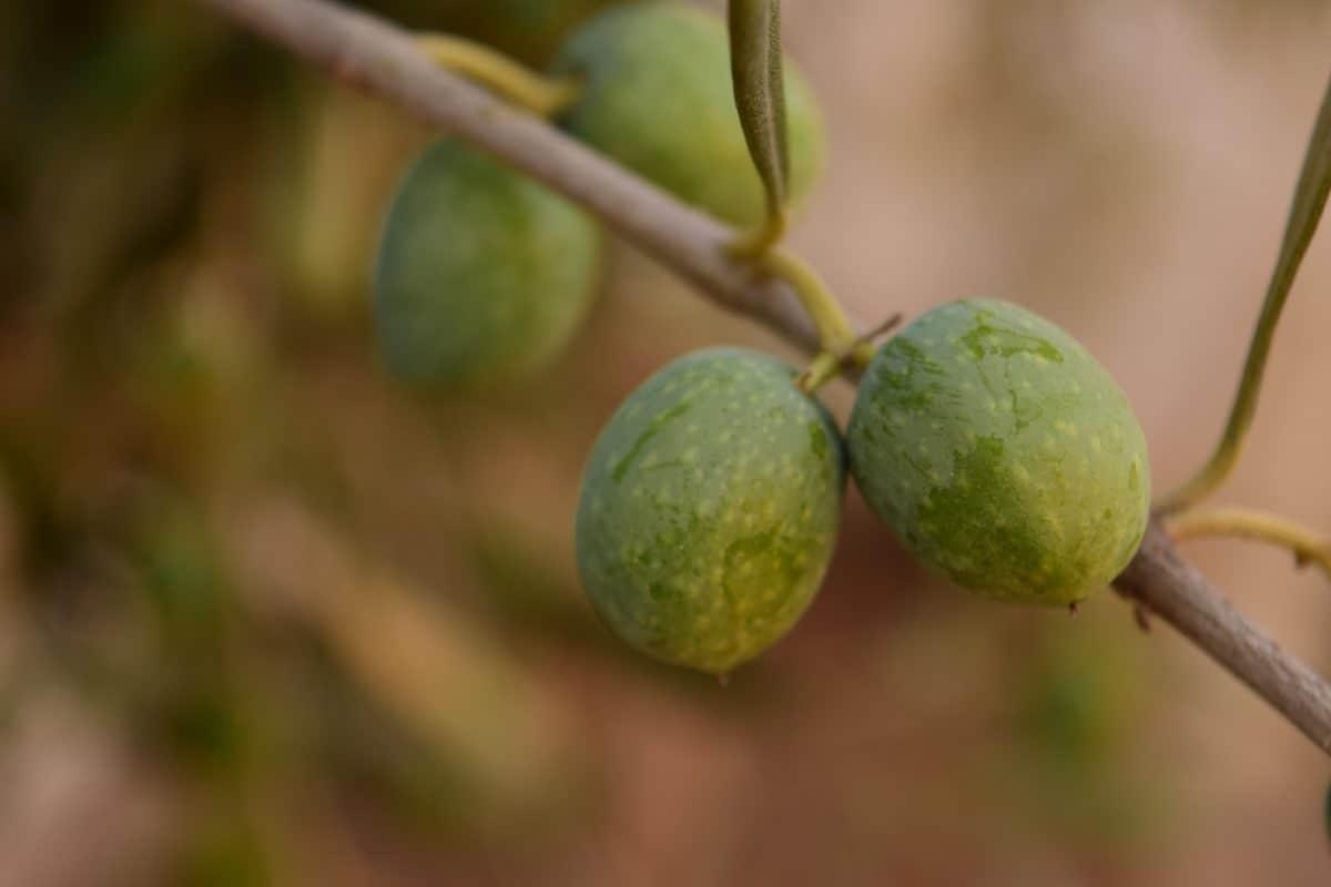 Baum, Olive, Pflanze, Gewürz, Blatt, Lebensmittel, Bio, Diät