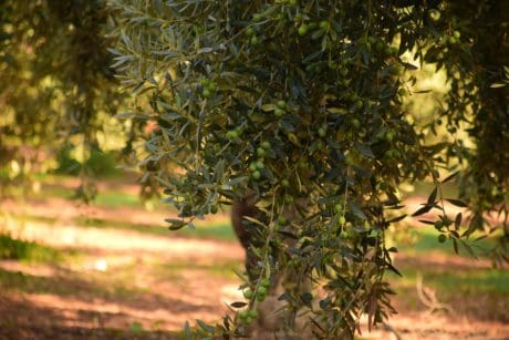 tree, wood, leaf, nature, plant, olive, outdoor, grass, orchard