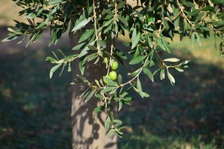 food, branch, leaf, olive, tree, nature, flora, plant, outdoor