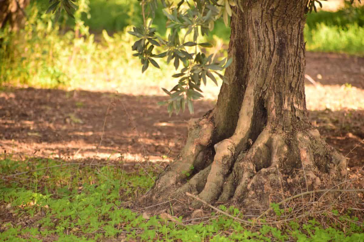 Flora, foglia, legno, natura, frutteto, ulivo, estate, erba, foresta, paesaggio