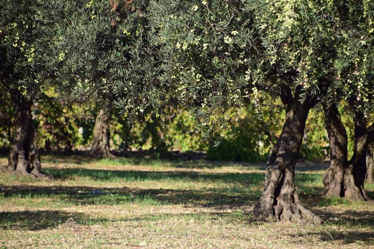 olivovník, ovocný sad, list, strom, flóra, příroda, zemědělství, větev, krajina