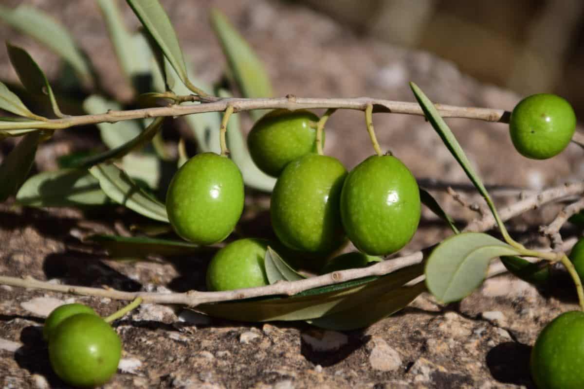feuille, nature, nourriture, fruit d'Olivier, régime alimentaire