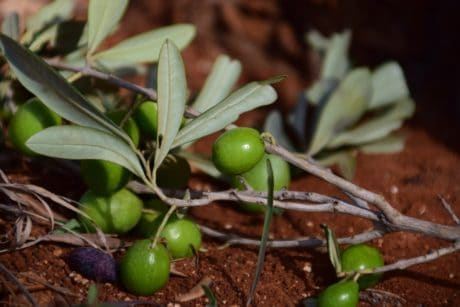 nature, nourriture, olive fruit, feuille, arbre