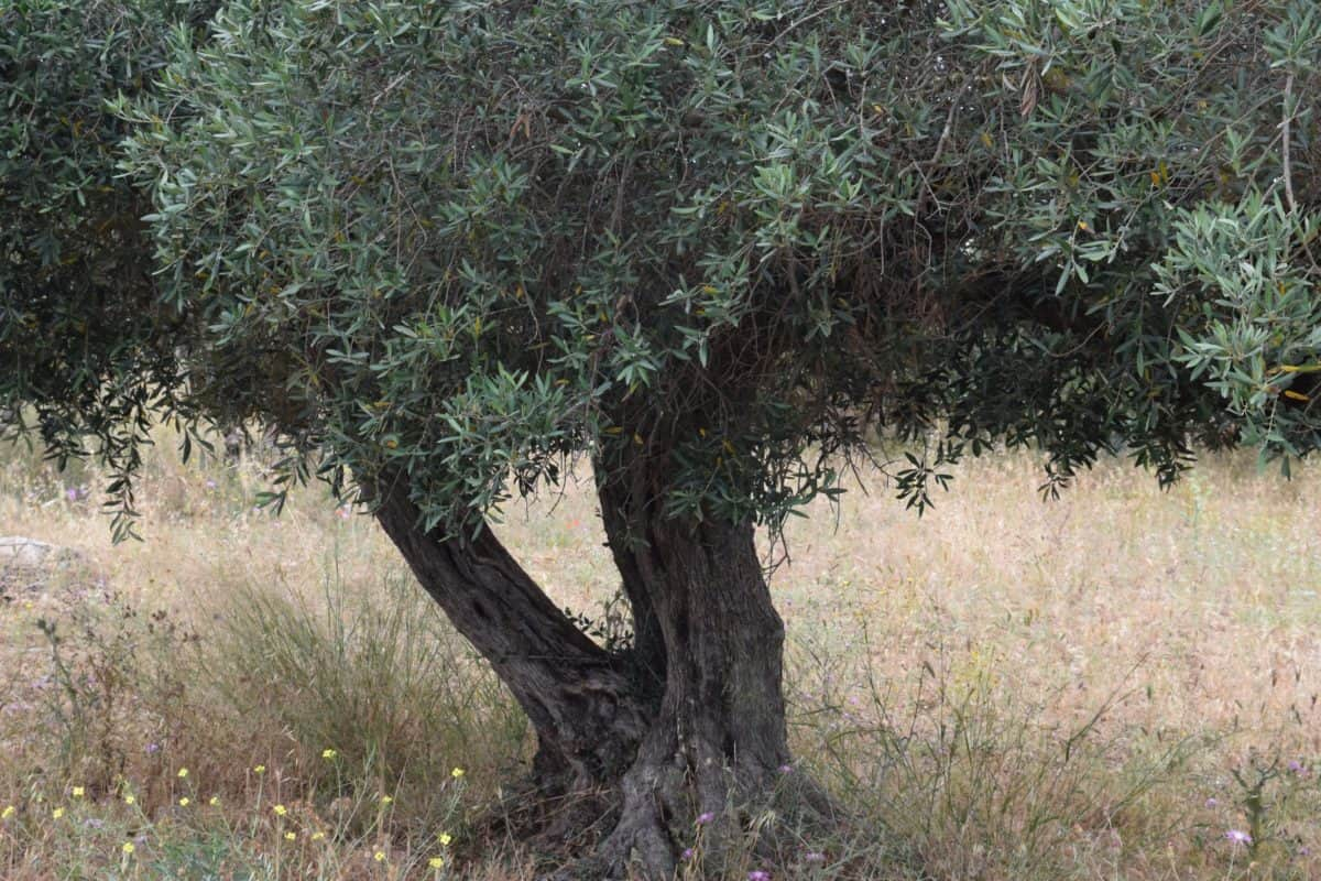 olive tree, orchard, flora, tree, leaf, grass, nature, environment, landscape