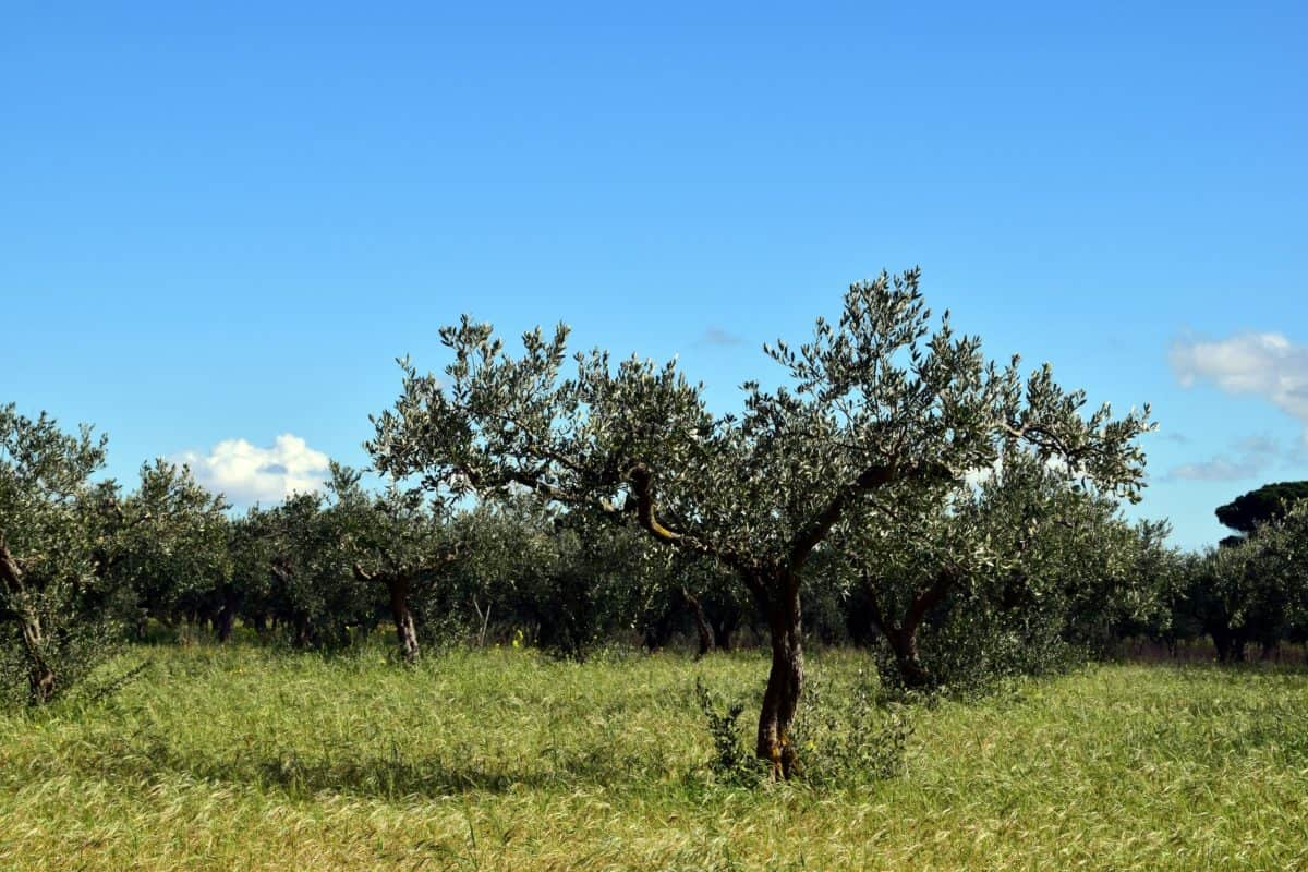 nature, olive tree, orchard, agriculture, field, grass, landscape