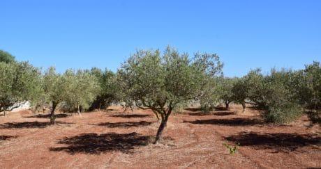 sky, agriculture, soil, landscape, nature, flora, olive tree, orchard