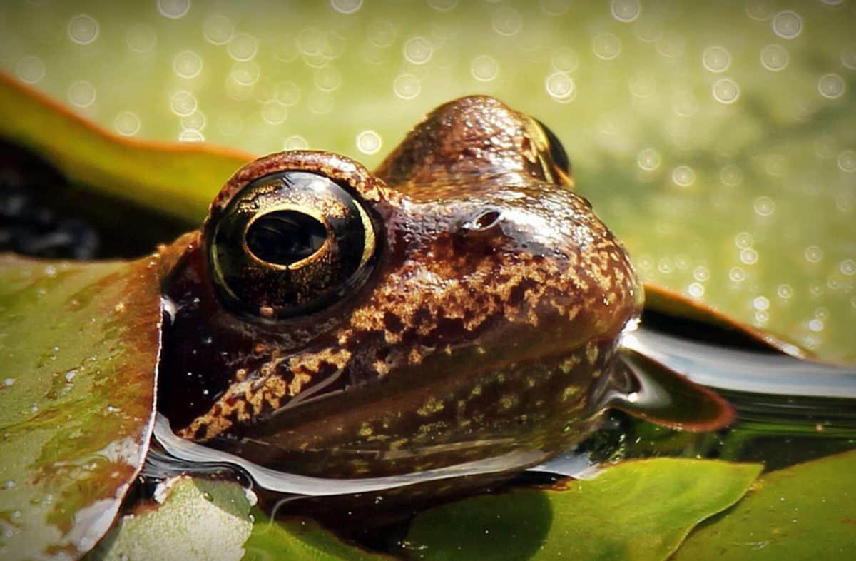 rana, naturaleza, fauna, agua, reptil, leafamphibian