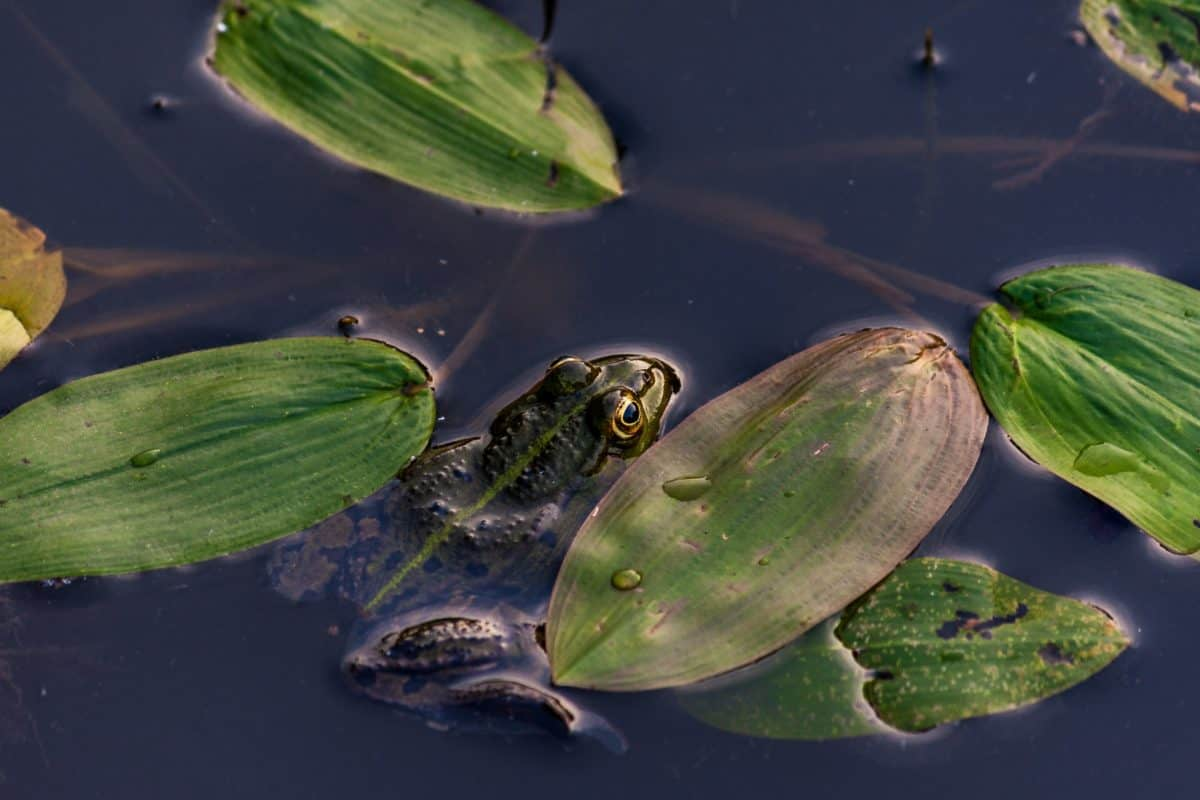 frog, water, leaf, frog, swamp