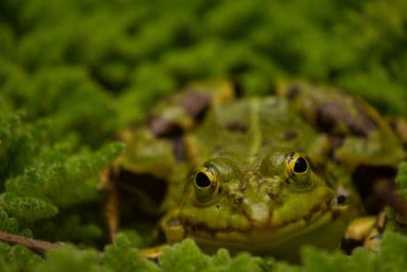 amphibian, frog, nature, eye, wildlife