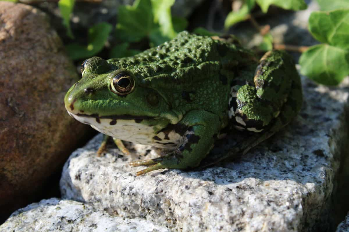 amphibiens, grenouille, nature, faune, oeil, animal, en plein air