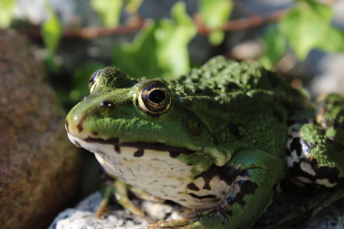 Amphibien, Tier, Frosch, Tiere, Reptilien, Natur, Auge