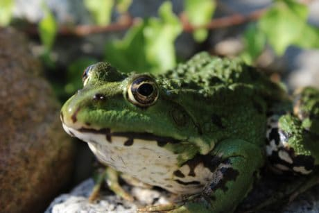 amphibian, animal, frog, wildlife, reptile, nature, eye