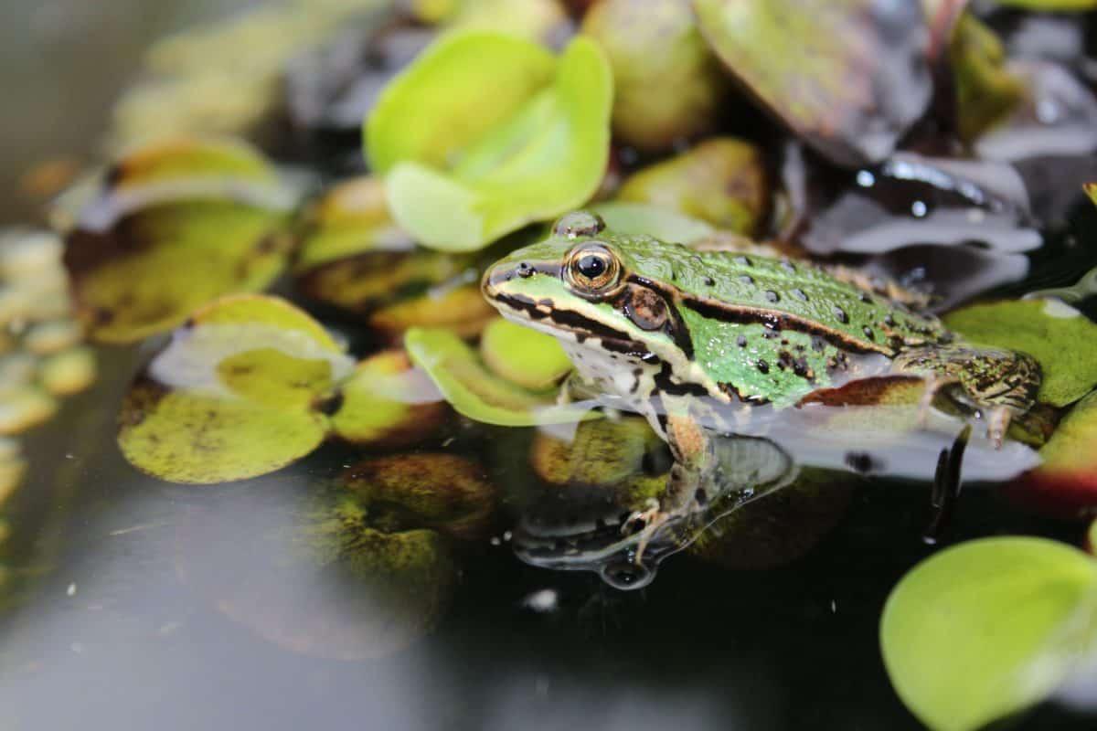Amphibien, Frosch, Natur, Auge, Tierwelt, Sumpf
